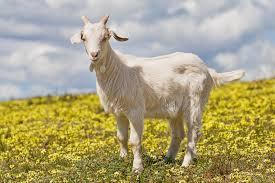 Goat for Qurbani