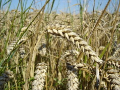 Wheat currency with intrinsic value